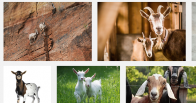 Goats breed & Price in Ngeria